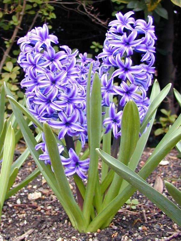 Cambridge, England: Botanic Garden: Hyacinth (Hyacinthus)